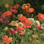 Picture of Iceland Poppies