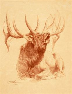 Picture of Bull Elk Resting