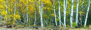 Picture of Beautiful Souls - Aspen Trees