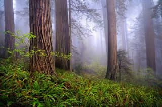Picture of Walking in the Redwoods